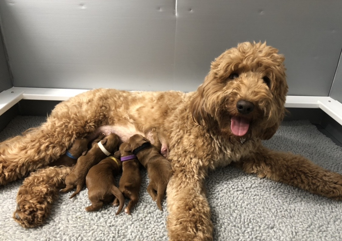 Goldendoodle Puppies Paws Of Love Goldendoodles Miami