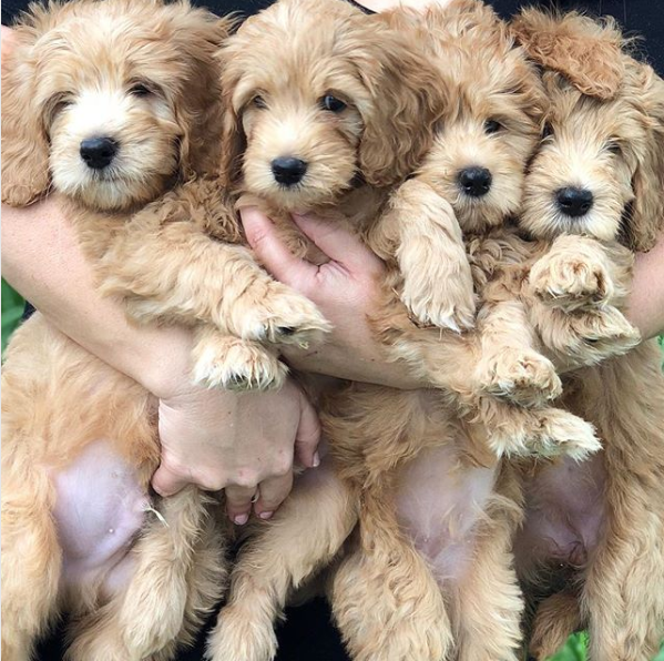 Paws Of Love Goldendoodles Miami
