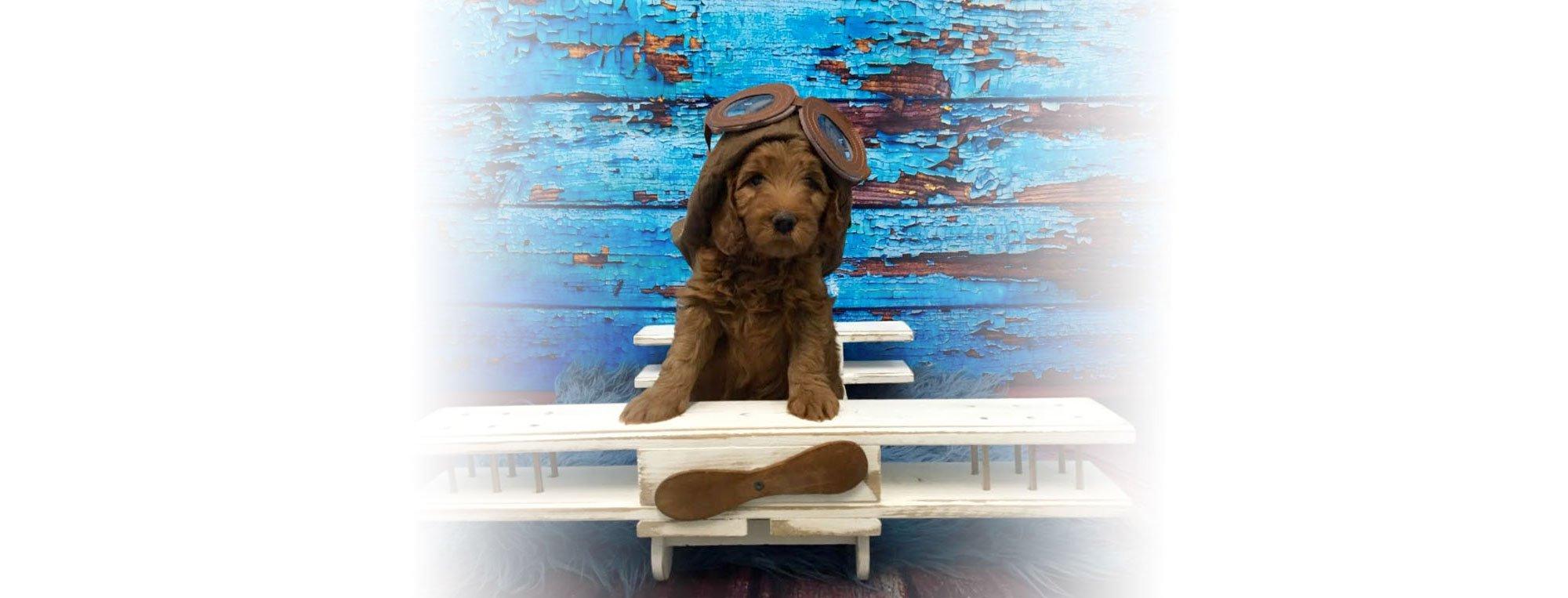 Miami Goldendoodle Breeders | Paws of Love Goldendoodles